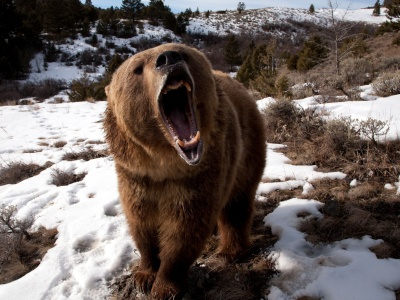 Angry Grizzly Bear1 (click to view)
