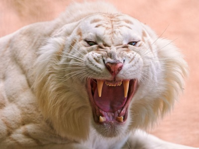 Angry White Tiger (click to view)