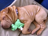 Animals Feet Dogs Funny Wool Pets Shar Pei Muzzle