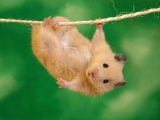 Animals Funny Hamsters Ropes