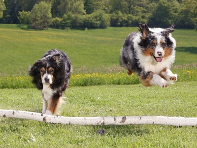 Australian Sheperds (click to view)
