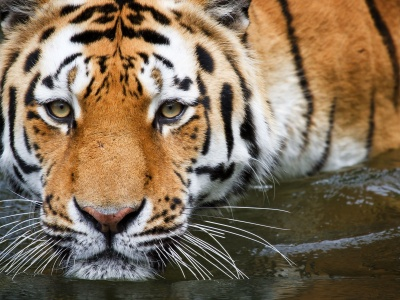 Bathing Tiger (click to view)