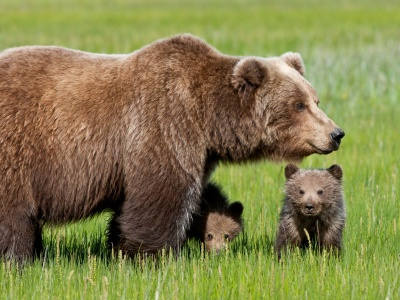 Bear With Cubs1 (click to view)