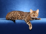 Bengal Cat On A Blue Background