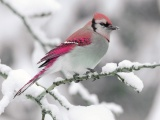Bird On Snow Branch