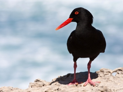 Black Oystercatcher (click to view)
