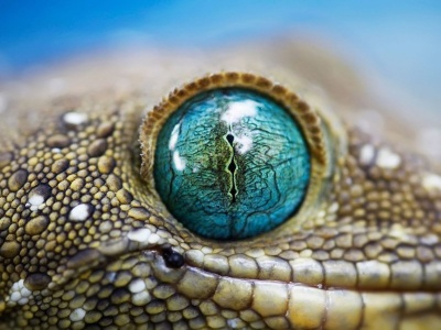 Blue Reptile Eye1 (click to view)