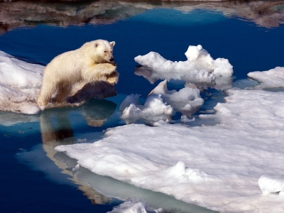 Brave Polar Bear1 (click to view)