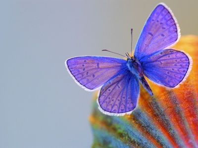 Butterfly Blue Animal (click to view)