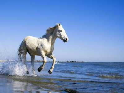 Camargue White Horse (click to view)