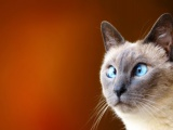 Cats Blue Eyes Animals Funny