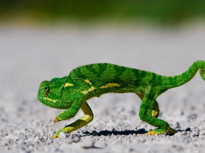 Chameleon On Sand (click to view)