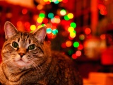 Christmas And Maine Coon Cat