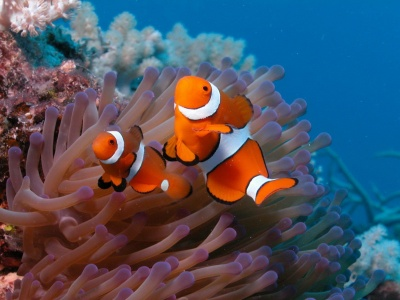 Clown Fish (click to view)