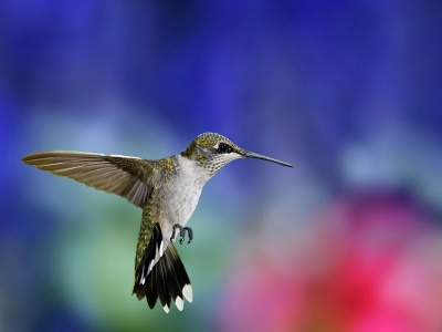 Colibri Bird1 (click to view)