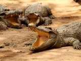 Crocodiles Bask In The Sun
