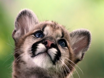 Cute Cougar Baby (click to view)