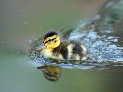 Cute Little Duck Swimming (click to view)
