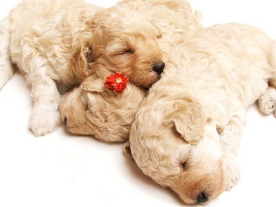 Cute Sleeping Puppies (click to view)