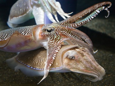 Cuttlefish (click to view)