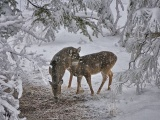 Deer Snow Trees Winter