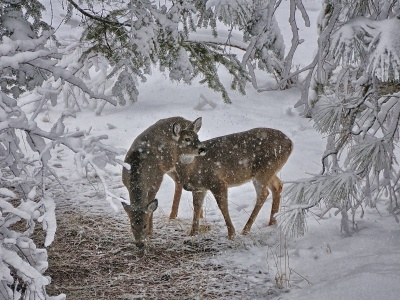 Deer Snow Trees Winter (click to view)