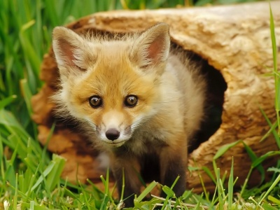 European Red Fox (click to view)