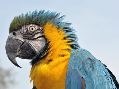 Feathers Head Beak Parrot (click to view)