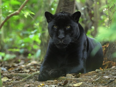 Forest Jungle Black Panther Panther (click to view)
