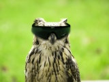 Glasses Funny Owls Photomanipulations