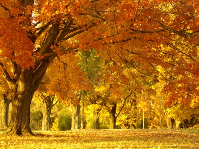 Golden Tree In Autumn (click to view)