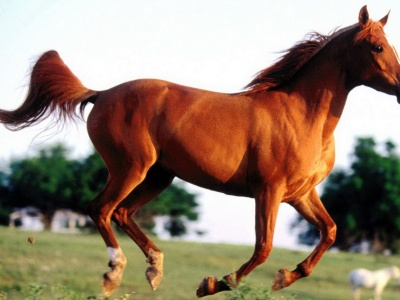 Grass Arabian Horse (click to view)