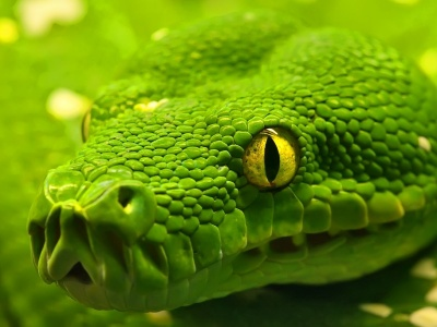 Green Emerald Boa Snake (click to view)