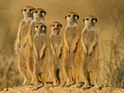 Group Of Meerkats (click to view)
