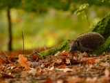 Hedgehog And Autumn