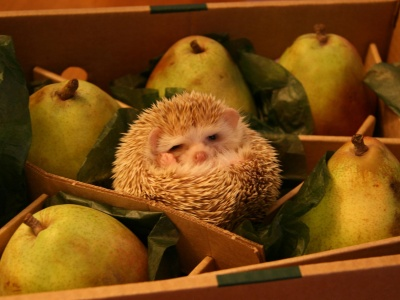 Hedgehog And Pears (click to view)