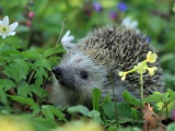 Hedgehog Spring Animal