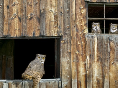 House Owl Window Barred Owl Strix Varia (click to view)
