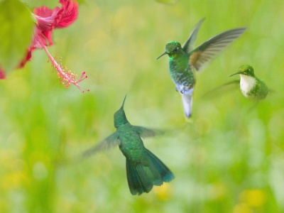 Hummingbird Flower Wings (click to view)