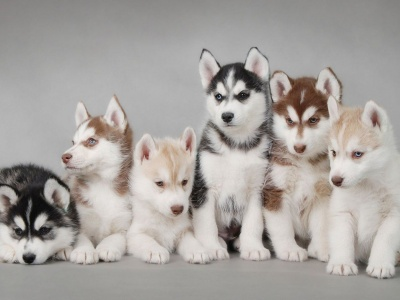 Husky Puppy Cute Animal (click to view)