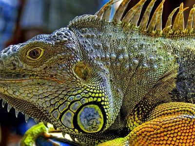 Iguana (click to view)