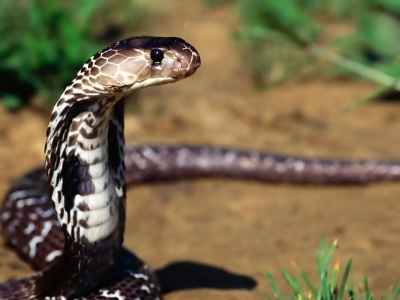 Indian Cobra (click to view)