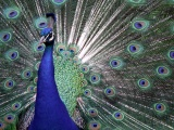 Indian Peafowl Blue Peafowl Bird Peacock Tail