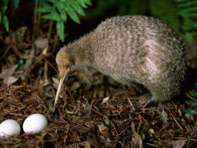Kiwi Leaves Pair Eggs Birdie Plant (click to view)