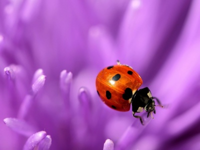 Ladybug Purple (click to view)