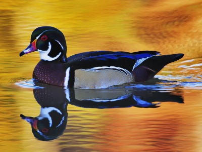 Lake Duck Water Reflection (click to view)