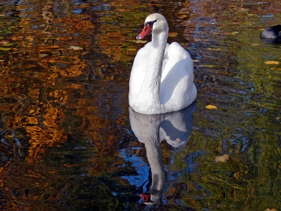 Lake Heat Swan Pond (click to view)