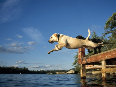 Lake Jump Labrador Pair Dogs (click to view)