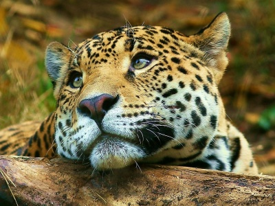 Leopard Dreaming (click to view)