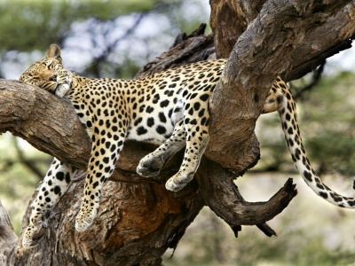 Leopard Sleeping (click to view)